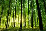 Forests are a renewable resource